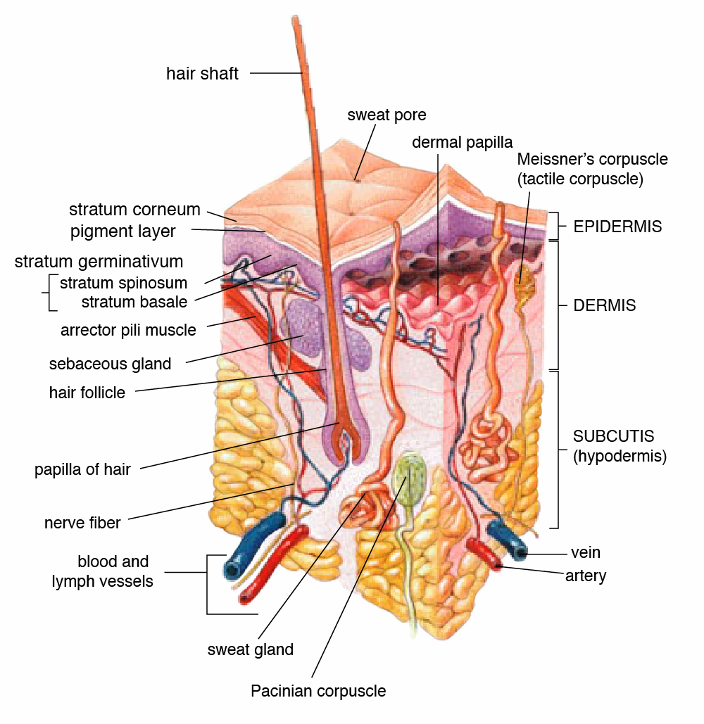 hormonal acne, testosterone and acne, estrogen and acne, thyroid and acne