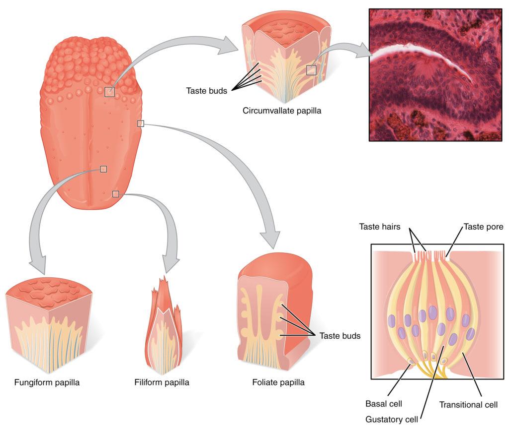 tongue diagram, tongue scraper, acne